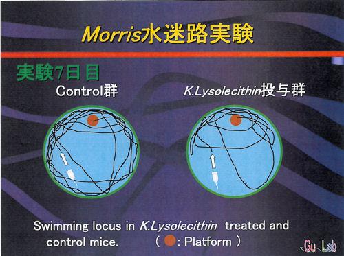 Morris水迷路実験7日目.jpg